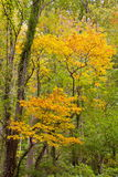 Κίτρινα φύλλα της πτώσης στα καπνώδη βουνά Στοκ Φωτογραφίες