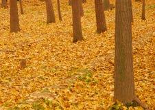 Κίτρινα φύλλα φθινοπώρου στοκ φωτογραφία