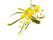 Κίτρινα χνουδωτά λουλούδια στην ακακία Στοκ Εικόνες