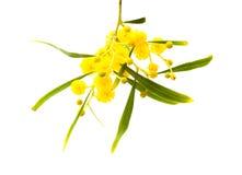 Κίτρινα χνουδωτά λουλούδια στην ακακία Στοκ φωτογραφίες με δικαίωμα ελεύθερης χρήσης
