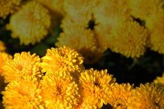 Κίτρινα χρυσάνθεμα Στοκ Εικόνες