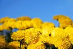 Κίτρινα χρυσάνθεμα Στοκ Εικόνα