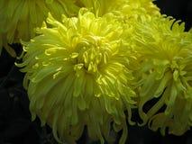 Κίτρινα χρυσάνθεμα Στοκ φωτογραφία με δικαίωμα ελεύθερης χρήσης