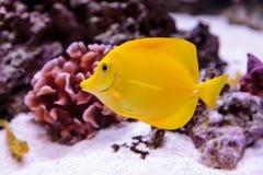 Κίτρινα ψάρια γεύσης, Zebrasoma flavenscens στοκ φωτογραφία με δικαίωμα ελεύθερης χρήσης