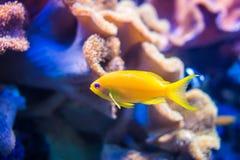 Κίτρινα ψάρια θάλασσας goldie στο πορτοκαλί και ρόδινο υπόβαθρο κοραλλιών Στοκ εικόνα με δικαίωμα ελεύθερης χρήσης