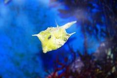 Κίτρινα ψάρια κιβωτίων Στοκ φωτογραφίες με δικαίωμα ελεύθερης χρήσης