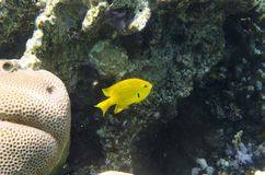 Κίτρινα ψάρια κοραλλιών στο υπόβαθρο των κοραλλιών στοκ φωτογραφία