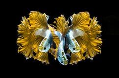 Κίτρινα ψάρια πάλης δράκων σιαμέζα, ψάρια betta που απομονώνονται στο blac Στοκ Φωτογραφία