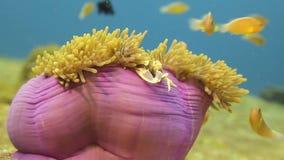 Κίτρινα ψάρια που κολυμπούν γύρω από το ρόδινο και κίτρινο πλάσμα θάλασσας φιλμ μικρού μήκους