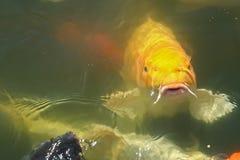 Κίτρινα ψάρια στη λίμνη Στοκ Φωτογραφίες