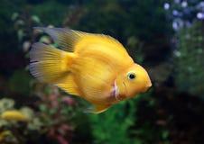 Κίτρινα ψάρια του παπαγάλου Cichlasoma σε ένα εσωτερικό ενυδρείων Στοκ εικόνα με δικαίωμα ελεύθερης χρήσης