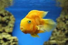 Κίτρινα ψάρια του παπαγάλου Cichlasoma Ψάρια σε ένα μπλε υπόβαθρο Στοκ Φωτογραφίες