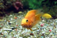 Κίτρινα ψάρια του παπαγάλου Cichlasoma Στοκ Εικόνες