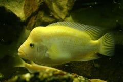 Κίτρινα ψάρια στοκ εικόνα με δικαίωμα ελεύθερης χρήσης
