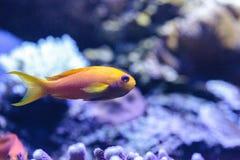 Κίτρινα ψάρια Lyretail Anthias γνωστά ως squamipinnis Pseudanthias Στοκ Φωτογραφίες