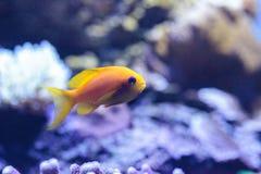Κίτρινα ψάρια Lyretail Anthias γνωστά ως squamipinnis Pseudanthias Στοκ φωτογραφίες με δικαίωμα ελεύθερης χρήσης