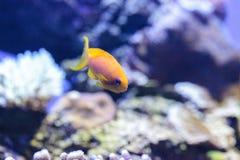 Κίτρινα ψάρια Lyretail Anthias γνωστά ως squamipinnis Pseudanthias Στοκ εικόνες με δικαίωμα ελεύθερης χρήσης