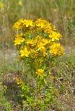 Κίτρινα όμορφα λουλούδια ιατρικό wort του ST-John ` s Στοκ φωτογραφία με δικαίωμα ελεύθερης χρήσης