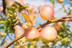 Κίτρινα ώριμα φρούτα μήλων στο υπόβαθρο ουρανού κλάδων Εποχή πτώσης συγκομιδής μήλων Κηπουρική και συγκομιδή οργανικός στοκ εικόνες με δικαίωμα ελεύθερης χρήσης
