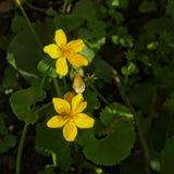 Κίτρινα anemones - Anemone ranunculoides Στοκ φωτογραφία με δικαίωμα ελεύθερης χρήσης