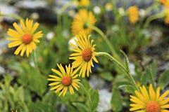 Κίτρινα arnica λουλούδια Στοκ φωτογραφίες με δικαίωμα ελεύθερης χρήσης