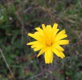 Κίτρινα autumnalis Leontodon λουλουδιών, αιώνιες ανθίσεις από τον Ιούνιο μέχρι το Σεπτέμβριο σε ένα ηλιόλουστο σημείο σε ένα λιβά στοκ φωτογραφίες με δικαίωμα ελεύθερης χρήσης
