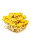 Κίτρινα cornucopiae μανιτάρι-Pleurotus στρειδιών Στοκ φωτογραφία με δικαίωμα ελεύθερης χρήσης