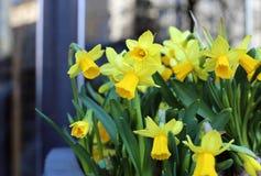 Κίτρινα daffodils με το όμορφο αστικό υπόβαθρο πόλεων Στοκ φωτογραφία με δικαίωμα ελεύθερης χρήσης