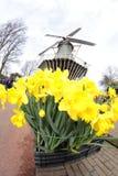 Κίτρινα daffodils ναρκίσσων με τον ανεμόμυλο, Keukenhof Άμστερνταμ Στοκ φωτογραφίες με δικαίωμα ελεύθερης χρήσης
