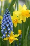 Κίτρινα daffodils ναρκίσσων Στοκ εικόνα με δικαίωμα ελεύθερης χρήσης