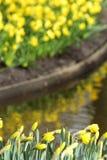 Κίτρινα daffodils ναρκίσσων Στοκ Φωτογραφίες