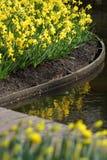 Κίτρινα daffodils ναρκίσσων Στοκ Εικόνα