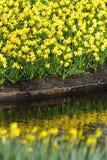 Κίτρινα daffodils ναρκίσσων Στοκ Εικόνες