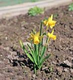 Κίτρινα daffodils λουλουδιών την πρώιμη άνοιξη Στοκ Φωτογραφία