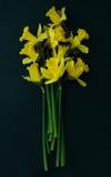 κίτρινα daffodils σε ένα μαύρο υπόβαθρο Στοκ φωτογραφία με δικαίωμα ελεύθερης χρήσης