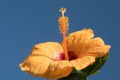 Κίτρινα hibiscus κάτω από το μπλε ουρανό στοκ φωτογραφίες