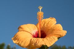 Κίτρινα hibiscus κάτω από το μπλε ουρανό στοκ φωτογραφία