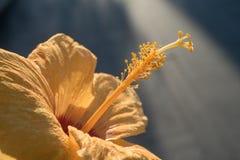Κίτρινα hibiscus με το φωτισμό bokeh στην πλάτη στοκ εικόνες με δικαίωμα ελεύθερης χρήσης