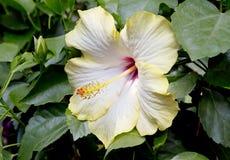 Κίτρινα Hibiscus λουλουδιών Στοκ Φωτογραφία