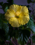 Κίτρινα hibiscus σε ένα σκοτεινό κλίμα στοκ εικόνες