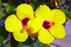 Κίτρινα hibiscus Στοκ εικόνες με δικαίωμα ελεύθερης χρήσης