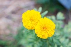 Κίτρινα marigolds Στοκ φωτογραφία με δικαίωμα ελεύθερης χρήσης