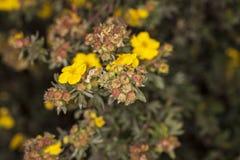 Κίτρινα marigolds Στοκ εικόνα με δικαίωμα ελεύθερης χρήσης