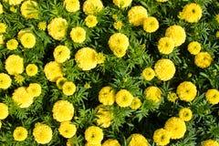 Κίτρινα marigolds Στοκ Εικόνες