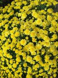 Κίτρινα mums για το υπόβαθρο στοκ φωτογραφία με δικαίωμα ελεύθερης χρήσης