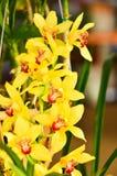 Κίτρινα orchids κλείνουν επάνω Στοκ εικόνα με δικαίωμα ελεύθερης χρήσης