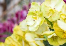 Κίτρινα orchids Στοκ εικόνες με δικαίωμα ελεύθερης χρήσης