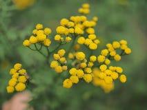 Κίτρινα tansy λουλούδια Tanacetum vulgare, κοινό tansy, πικρό κουμπί, αγελάδα πικρά, ή χρυσά κουμπιά στο πράσινο θερινό λιβάδι στοκ εικόνα με δικαίωμα ελεύθερης χρήσης