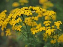 Κίτρινα tansy λουλούδια Tanacetum vulgare, κοινό tansy, πικρό κουμπί, αγελάδα πικρά, ή χρυσά κουμπιά στο πράσινο θερινό λιβάδι στοκ εικόνα
