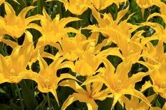 Κίτρινα toulips Στοκ φωτογραφία με δικαίωμα ελεύθερης χρήσης